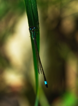 Blue Tailed Demoiselle