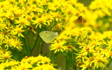 Ragwort Tea Party
