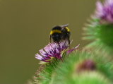 White tail Bumblebee on Burdock