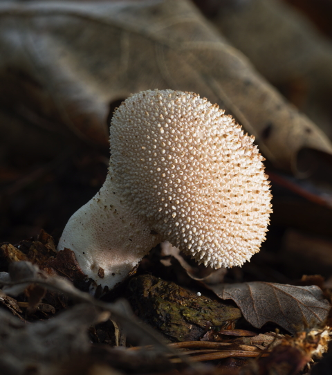 Common Puffball<sup>*</sup>