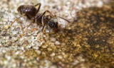 Ant drinking honey